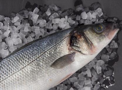Full Sea Bass 2